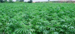 società per la coltivazione e vendita della Canapa